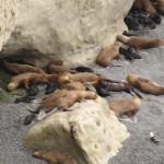 Seelöwen-Kolonie