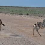 junge Zebras