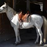Camargue-Pferd